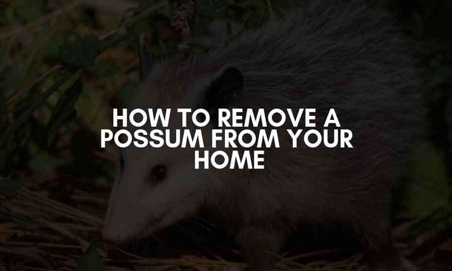 How to remove possum from your roof