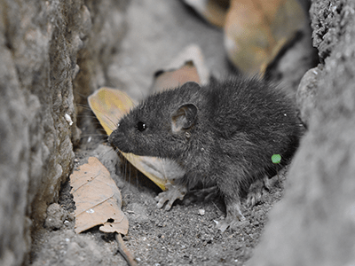 mouse pest control adelaide